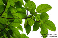 Ficus variegata, Red Stem Fig, Variegated FigClick to see full-size image