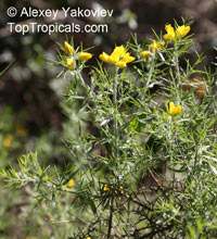 Genista hispanica, Spanish Broom, Spanish Gorse  Click to see full-size image