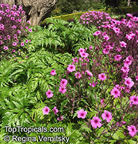 Geranium maderense, Madeiran Cranesbill