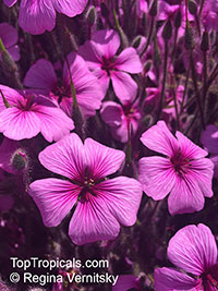 Geranium maderense, Madeiran Cranesbill  Click to see full-size image