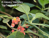 Glossoloma ichthyoderma, Alloplectus ichthyoderma, Glossoloma  Click to see full-size image