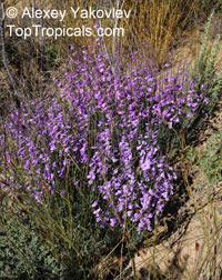 Heliophila juncea, Brachycarpaea juncea, Wild Stock, Bergviool  Click to see full-size image