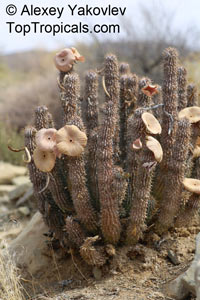 Hoodia sp., Hoodia  Click to see full-size image