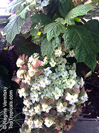 Hydrangea quercifolia, Oakleaf Hydrangea  Click to see full-size image
