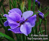 Iris sp. ( Beardless irises), Beardless Irises, Water Irises  Click to see full-size image