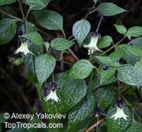 Jaltomata viridiflora, Atropa viridiflora, Yerba-Mora  Click to see full-size image