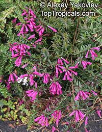 Lamourouxia virgata, Lamourouxia  Click to see full-size image