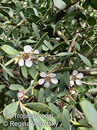 Leptospermum coriaceum, Green Teatree  Click to see full-size image
