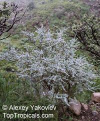 Lotononis sericophylla, Lotononis trisegmentata , LotononisClick to see full-size image