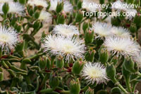 Mesembryanthemum sp., Ice Plant, Livingstone Daisy  Click to see full-size image