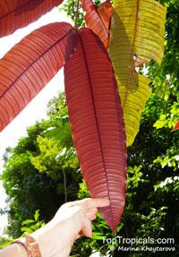 Mesua grandis, Kayea grandis, Penaga BayanClick to see full-size image
