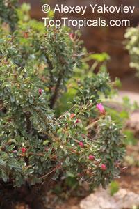 Monsonia patersonii, Sarcocaulon patersonii, Bushman's Candle Click to see full-size image