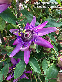 Passiflora 'Amethyst', Lavender Lady  Click to see full-size image