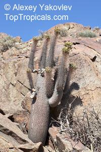 Pachypodium namaquanum, PachypodiumClick to see full-size image