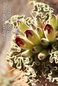 Pachypodium namaquanum, Pachypodium  Click to see full-size image