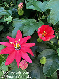 Passiflora manicata, Red Passionflower  Click to see full-size image