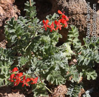 Pelargonium sp., Pelargonia, GeraniumClick to see full-size image