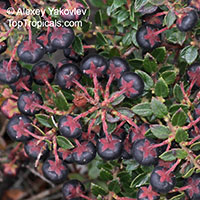 Gaultheria myrsinoides, Pernettya prostrata, Gaultheria prostrata, Cacalote  Click to see full-size image