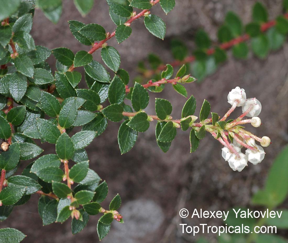 Pernettya Prostrata.Gaultheria Myrsinoides Pernettya Prostrata Gaultheria Prostrata Cacalote Toptropicals Com