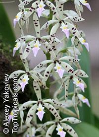 Prosthechea prismatocarpa, Encyclia prismatocarpa, Panarica prismatocarpa, Appendage Orchid, Prismatic Seed Pod EncycliaClick to see full-size image