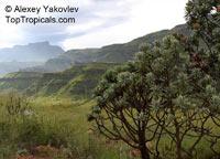 Protea roupelliae, Silver sugarbush  Click to see full-size image