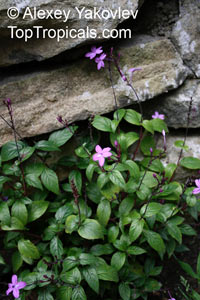 Pseuderanthemum sp., Shooting Star  Click to see full-size image