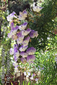 Psoralea pinnata, Blue butterfly-bush, Blue Pea  Click to see full-size image