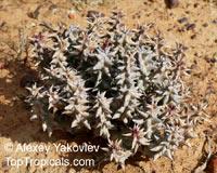 Quaqua mammillaris, Stapelia mammillaris, QuaquaClick to see full-size image