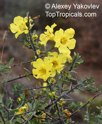Rhigozum sp., Yellow Pomegranate, Western Rhigozum, Short Thorn Pomegranate