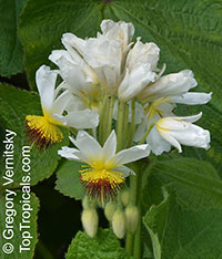 Sparrmannia africana, Cape Stock-rose, House Lime, African Hemp  Click to see full-size image