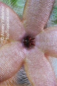 Stapelia sp., Starfish Flower, Giant Toad Flower, Carrion Flower  Click to see full-size image