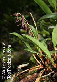 Stelis megachlamys, Pleurothallis megachlamys, Dracontia tuerckheimii, Tuerckheim's Pleurothallis  Click to see full-size image
