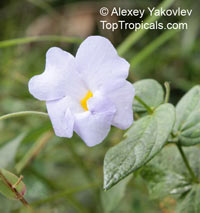 Thunbergia sp., Thunbergia