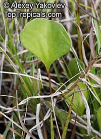 Utricularia sp., Bladderwort  Click to see full-size image