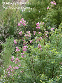 Virgilia divaricata, Blossom tree, Cape LilacClick to see full-size image