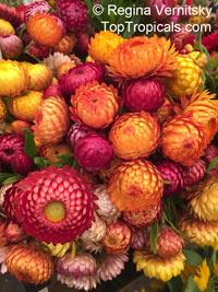 Xerochrysum bracteatum, Helichrysum bracteatum, Bracteantha bracteata, Strawflower, Paper Daisy, Everlasting DaisyClick to see full-size image