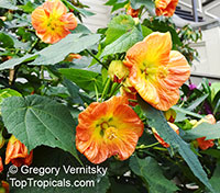 Abutilon x hybridum, Flowering Maple, Weeping Maple,Chinese Lantern  Click to see full-size image