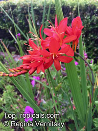 Crocosmia sp., Coppertips, Falling Stars, MontbretiaClick to see full-size image