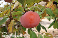 Diospyros kaki, Kaki, Japanese Persimmon, Oriental Persimmon, Sharon Fruit  Click to see full-size image