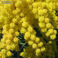 Acacia decurrens, Black Wattle  Click to see full-size image