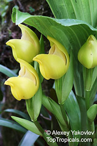 Anguloa sp., Tulip Orchid  Click to see full-size image