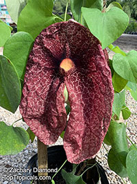 Aristolochia gigantea, Calico Flower, Giant Pelican Flower  Click to see full-size image
