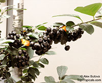 Aronia melanocarpa, Chokeberry  Click to see full-size image