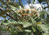 Brachylaena discolor, Coast Silver Oak  Click to see full-size image