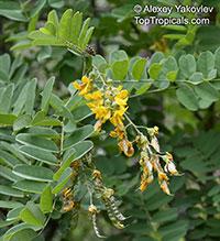 Calpurnia aurea, Common Calpurnia, Wild Laburnum, Natal Laburnum  Click to see full-size image