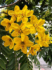 Cassia leptophylla, Gold Medallion Tree, Golden Medallion Tree  Click to see full-size image