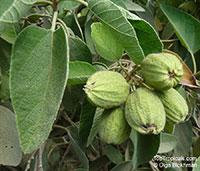 Cordia boissieri, Texas Olive, Anacahuita  Click to see full-size image