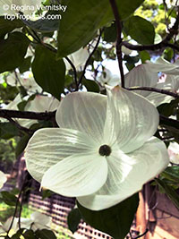 Cornus sp., Dogwood  Click to see full-size image