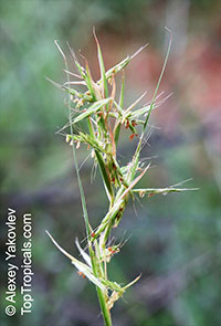 Cymbopogon nardus, Citronella Grass, Nardus, Nard Grass, Mana Grass  Click to see full-size image