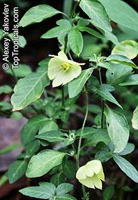 Dalechampia capensis, Dalechampia   Click to see full-size image